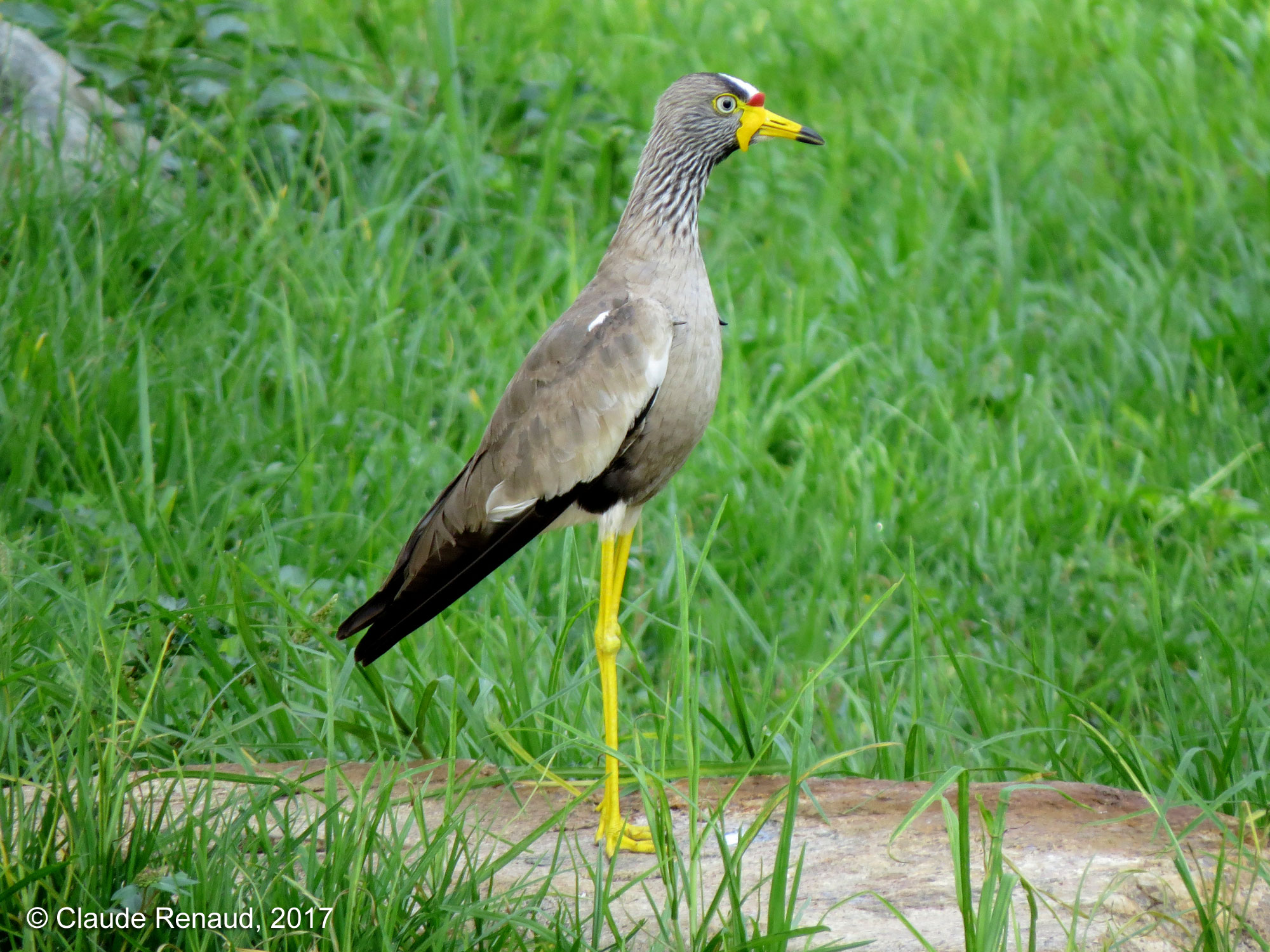 African Wattled Lapwing photo 01