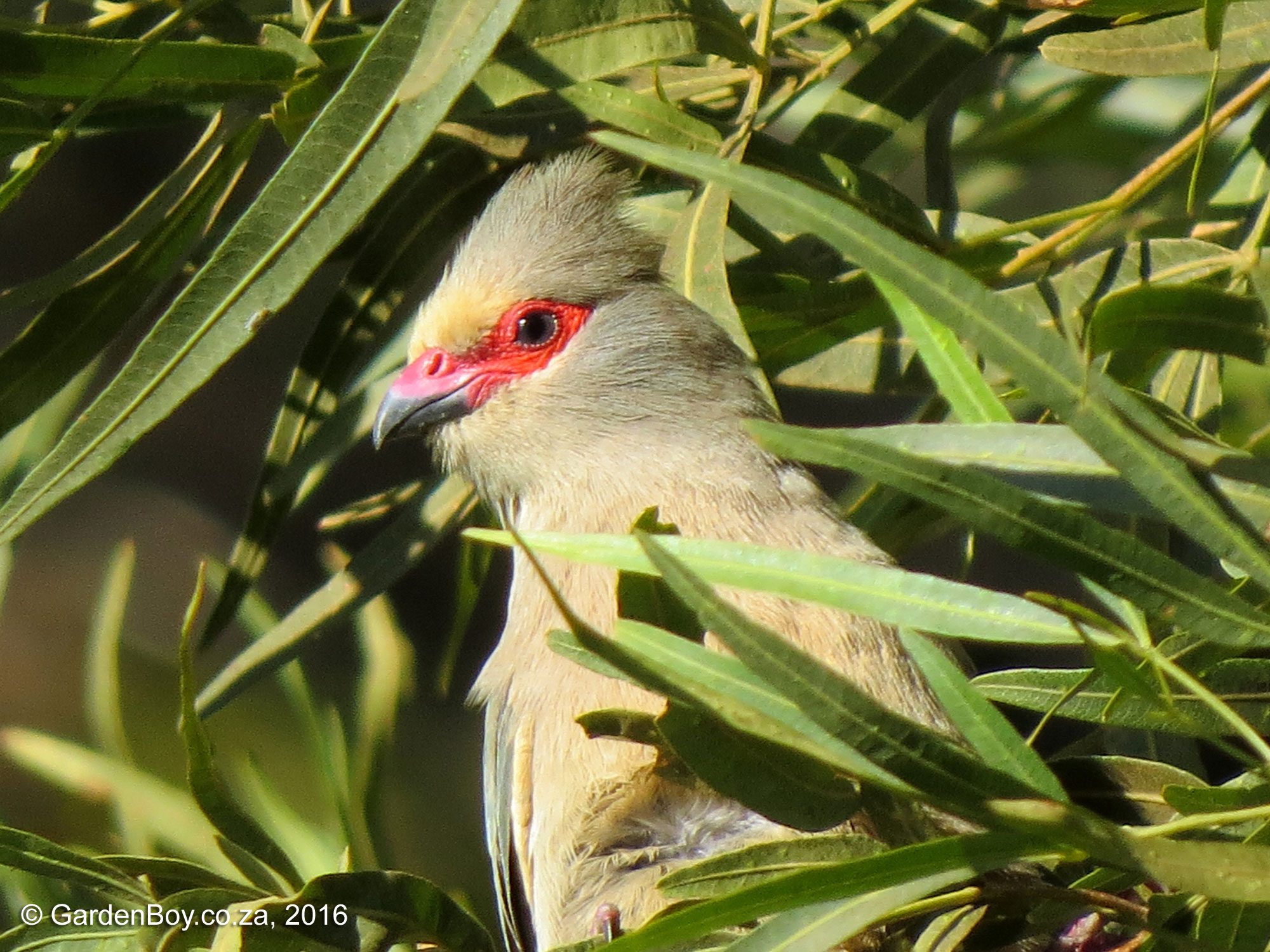 Red-faced Mousebird photo 02