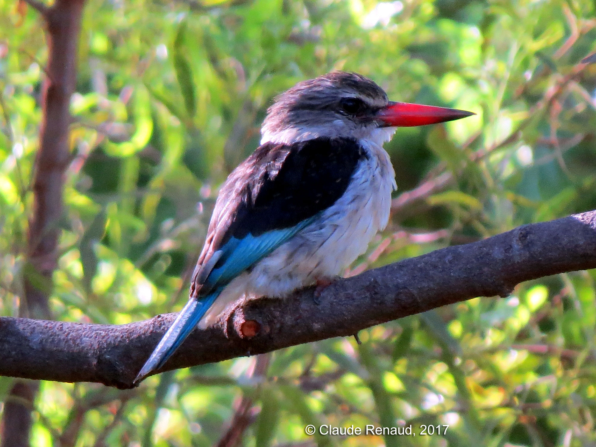 Brown-hooded Kingfisher photo 02