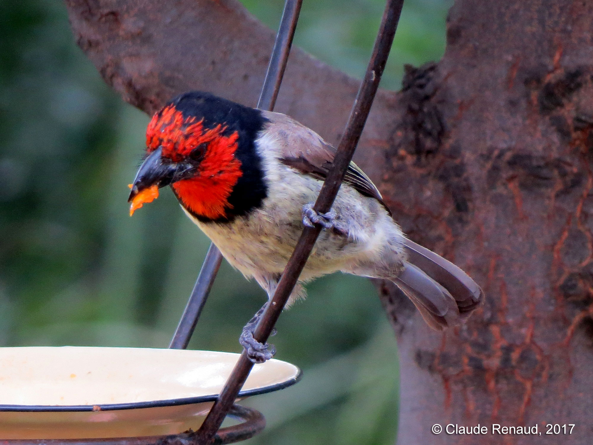 Black-collared Barbet photo 01