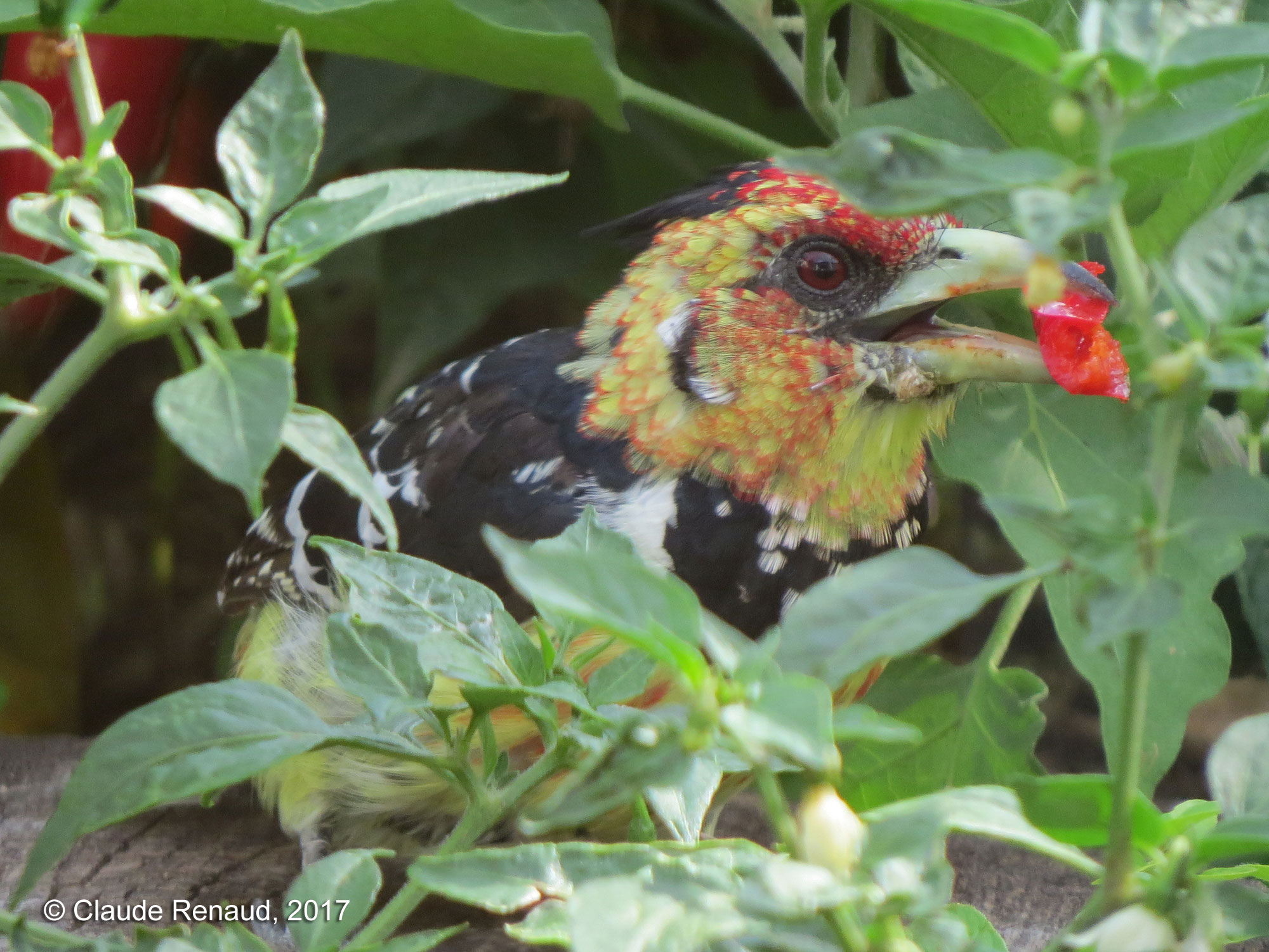 Crested Barbet photo 01