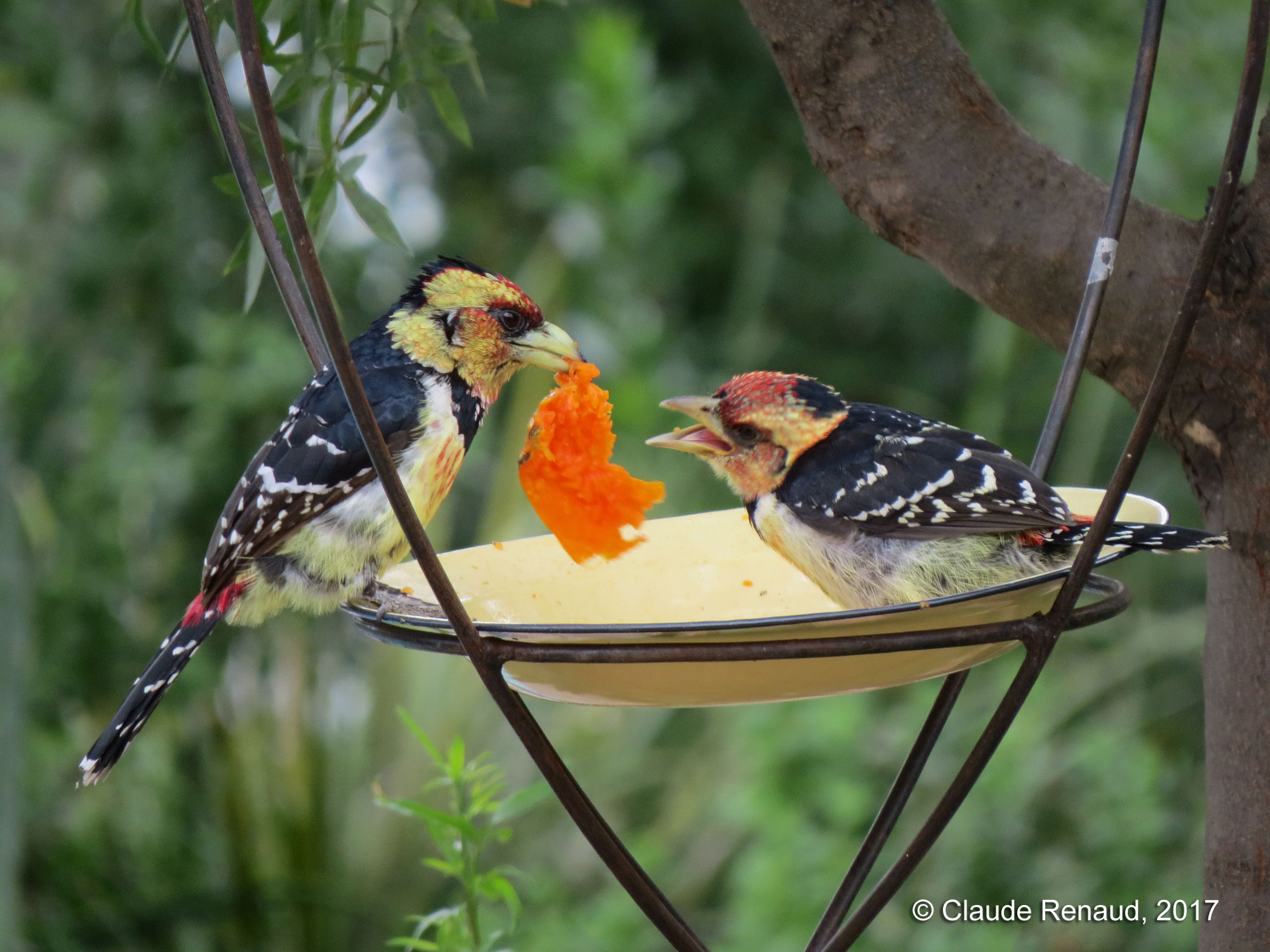 Crested Barbet photo 02