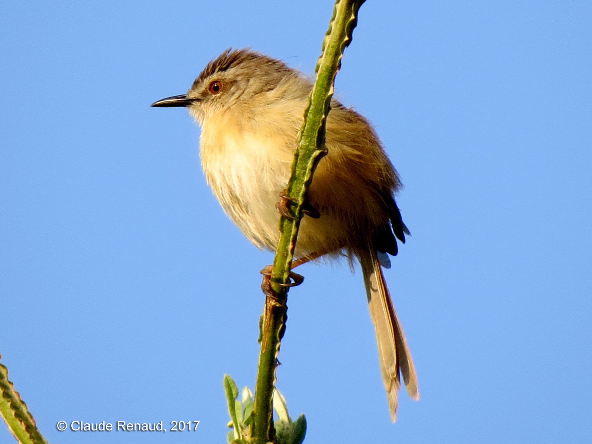Tawny-flanked Prinia photo 01