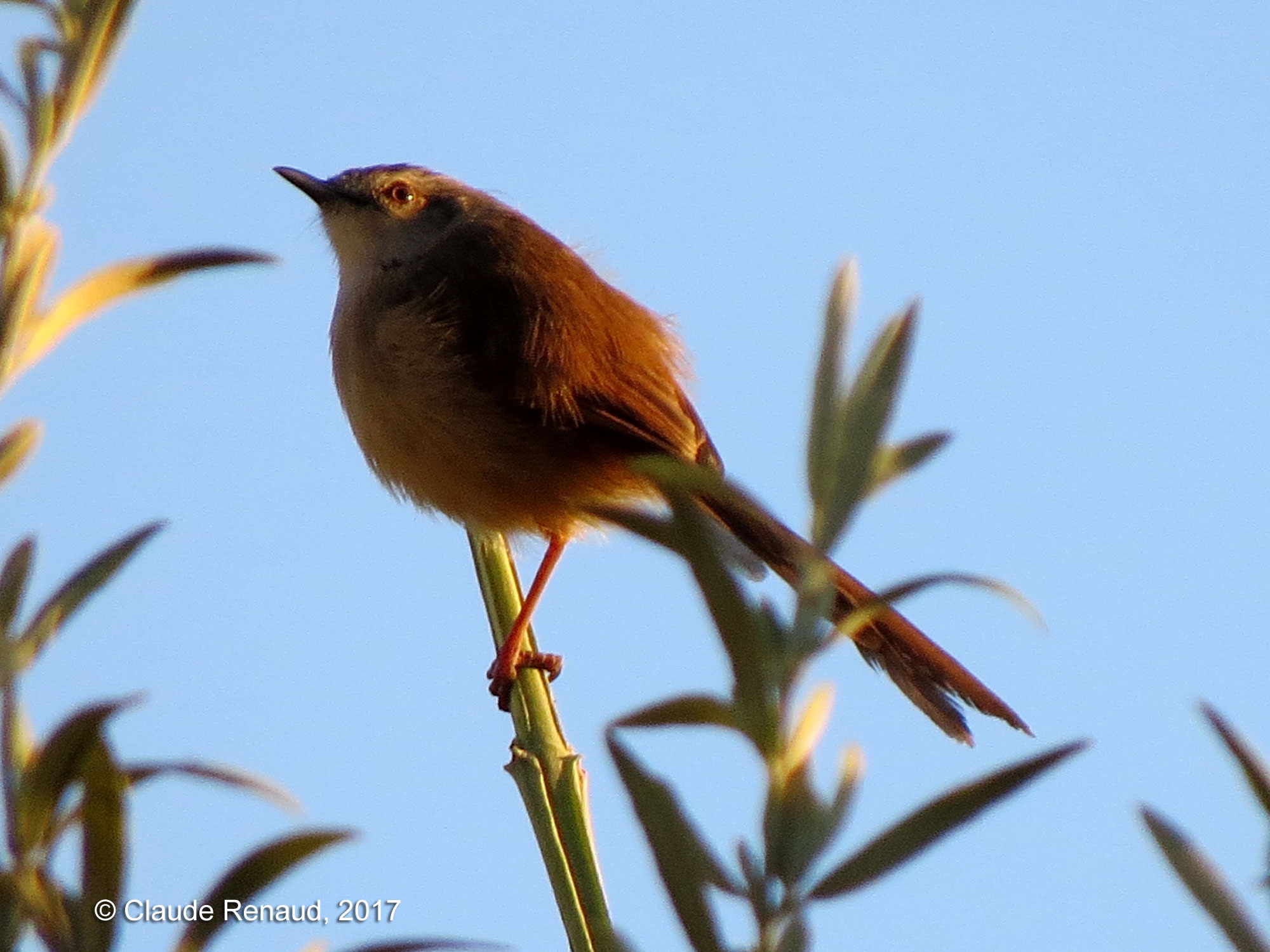 Tawny-flanked Prinia photo 02