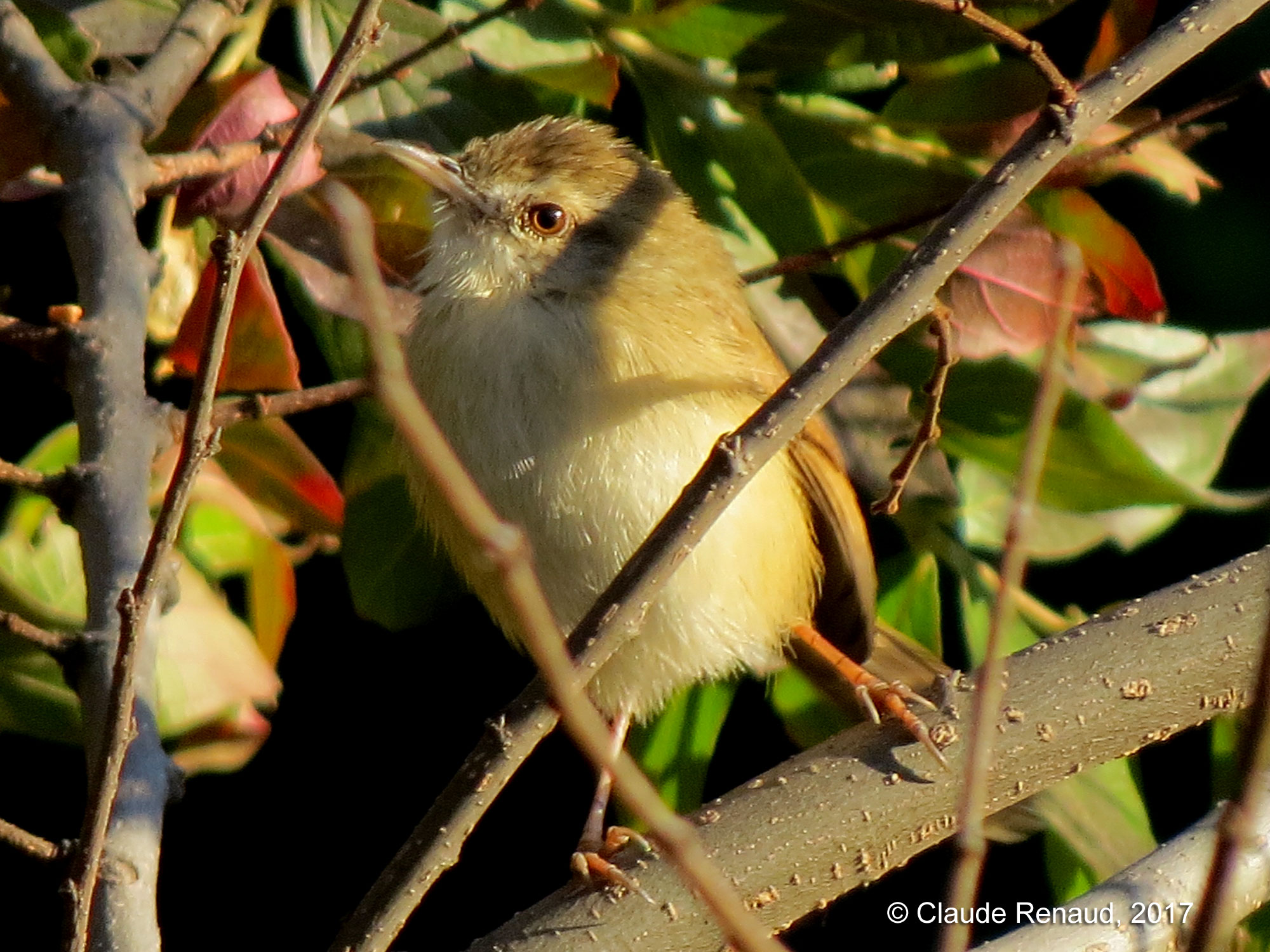 Tawny-flanked Prinia photo 03