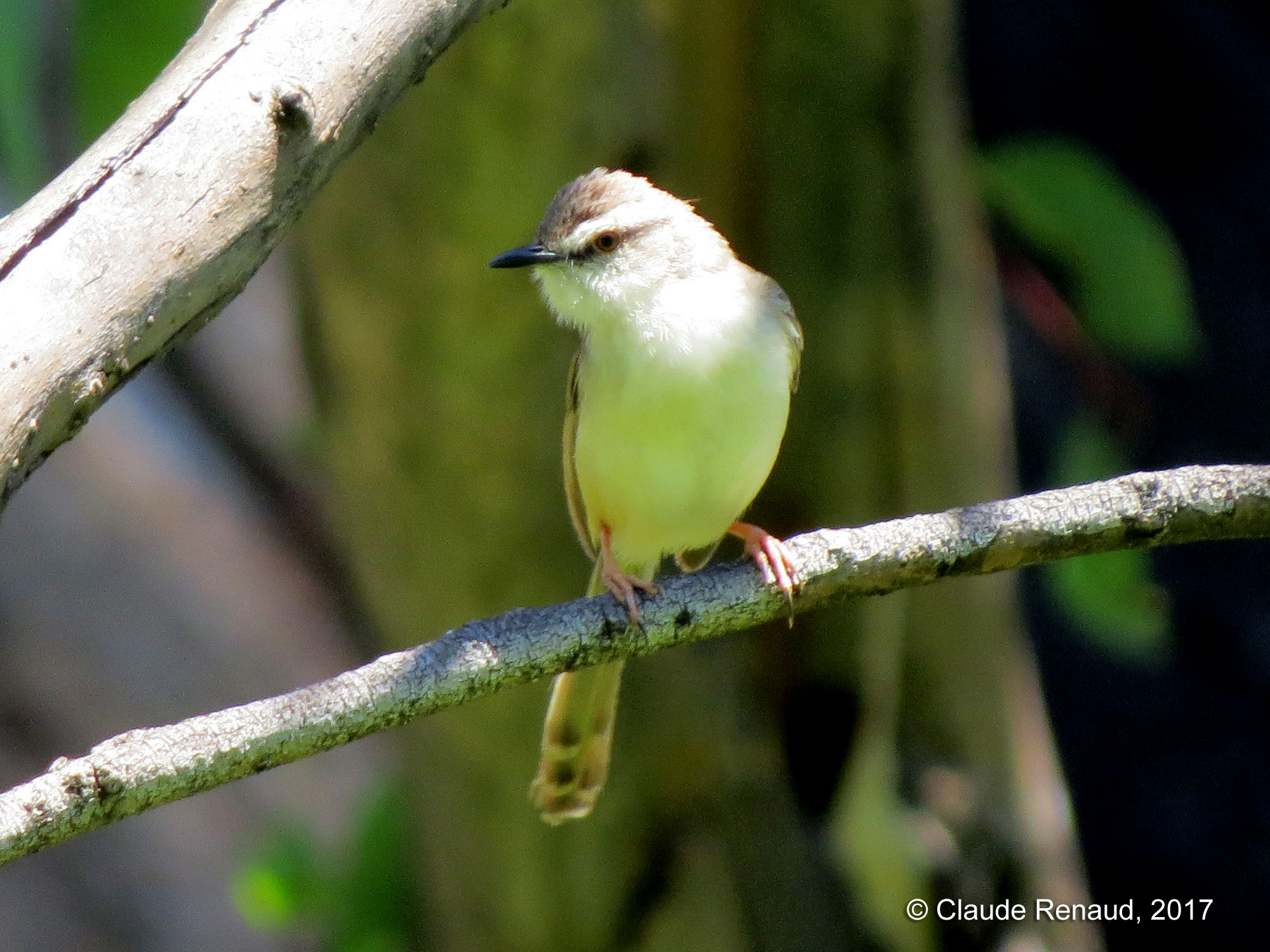 Tawny-flanked Prinia photo 05