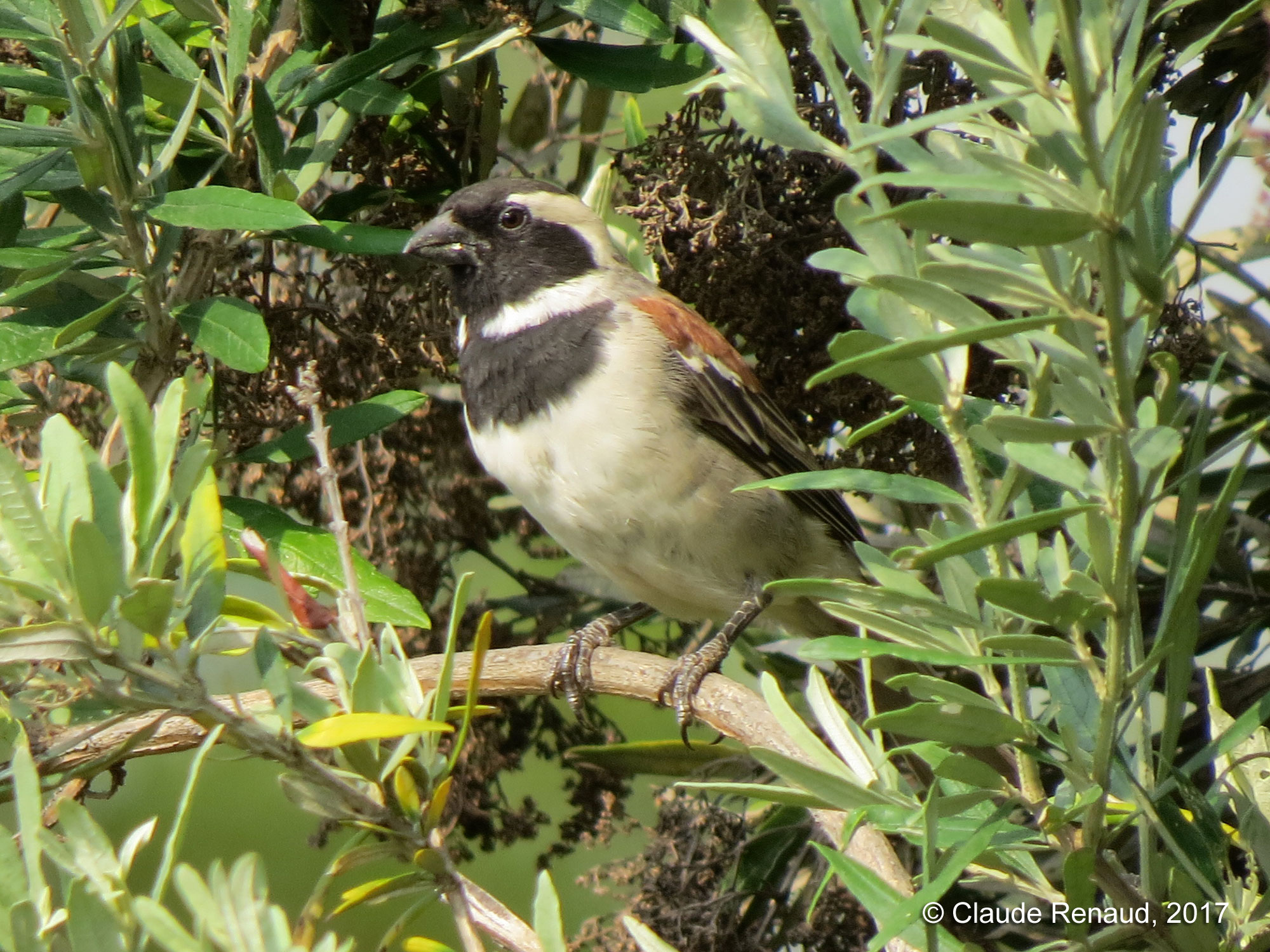 Cape Sparrow photo 01