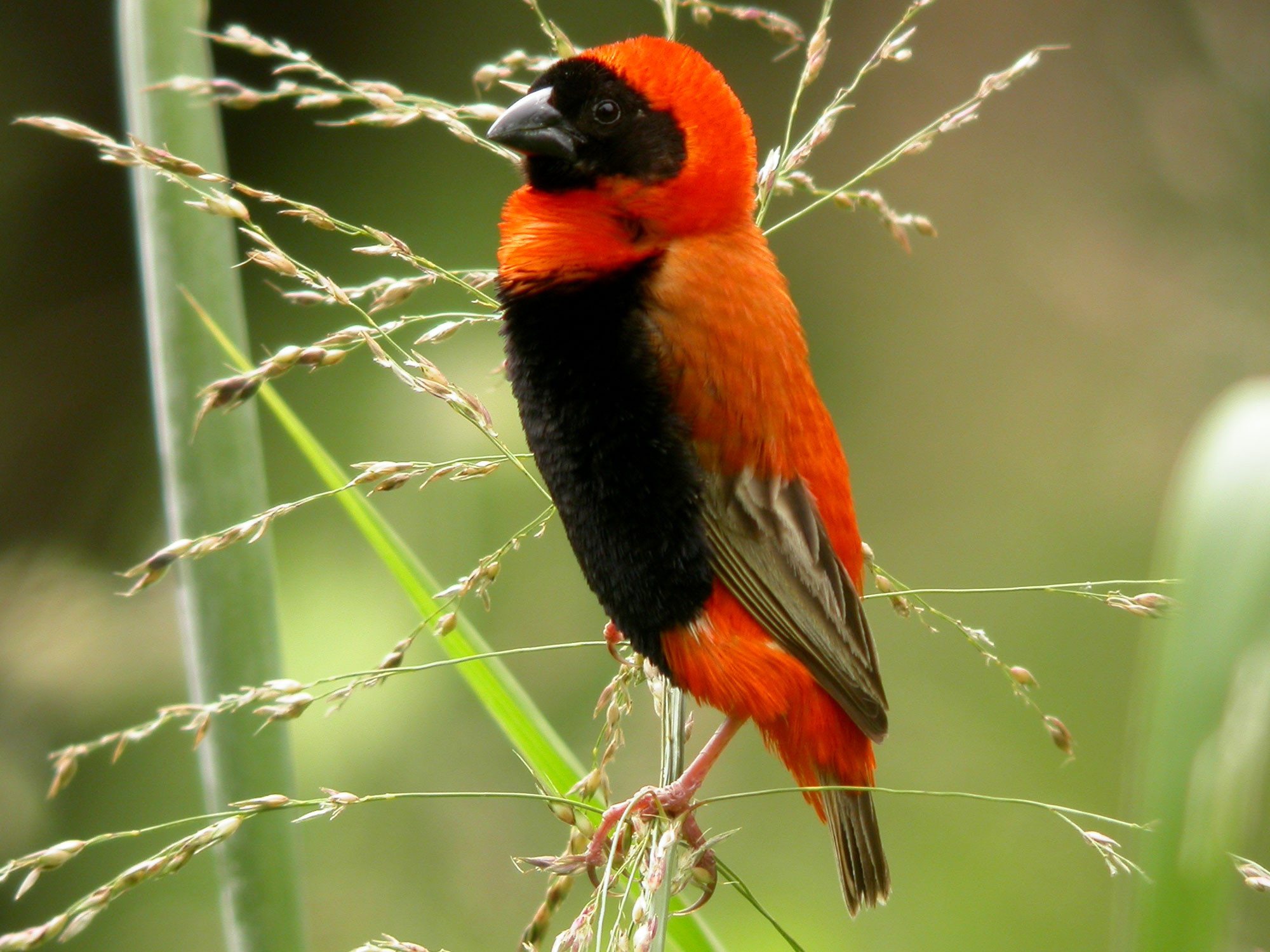 Southern Red Bishop photo 02