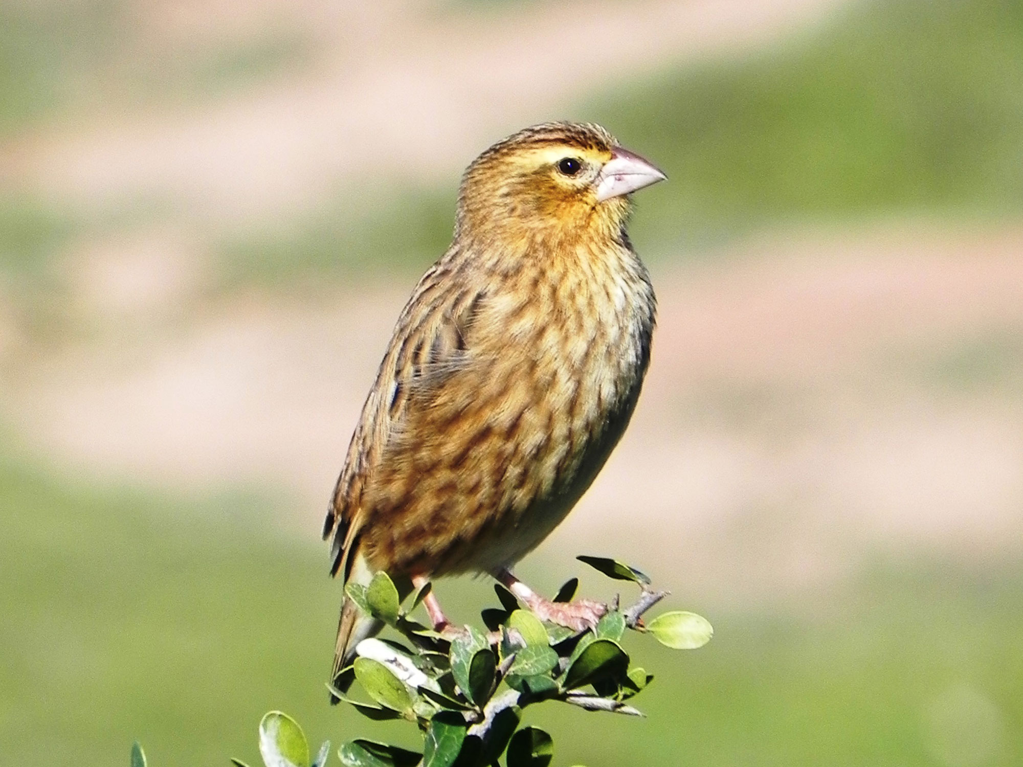 Southern Red Bishop photo 03