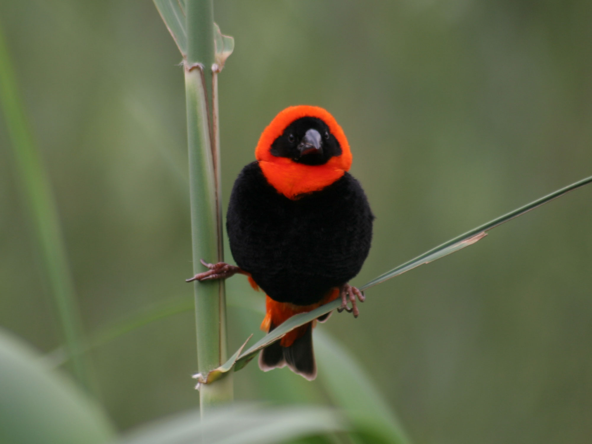 Southern Red Bishop photo 05