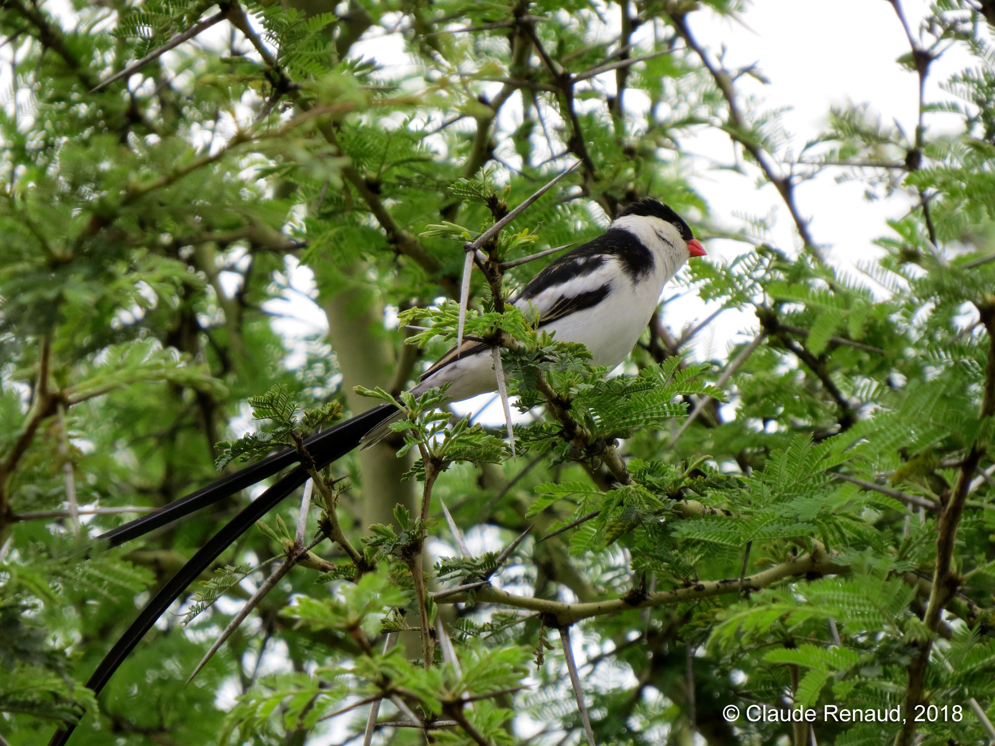 Pin-tailed Whydah photo 02