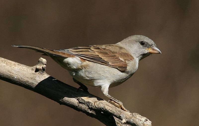 Southern Greyheaded Sparrow photo 01