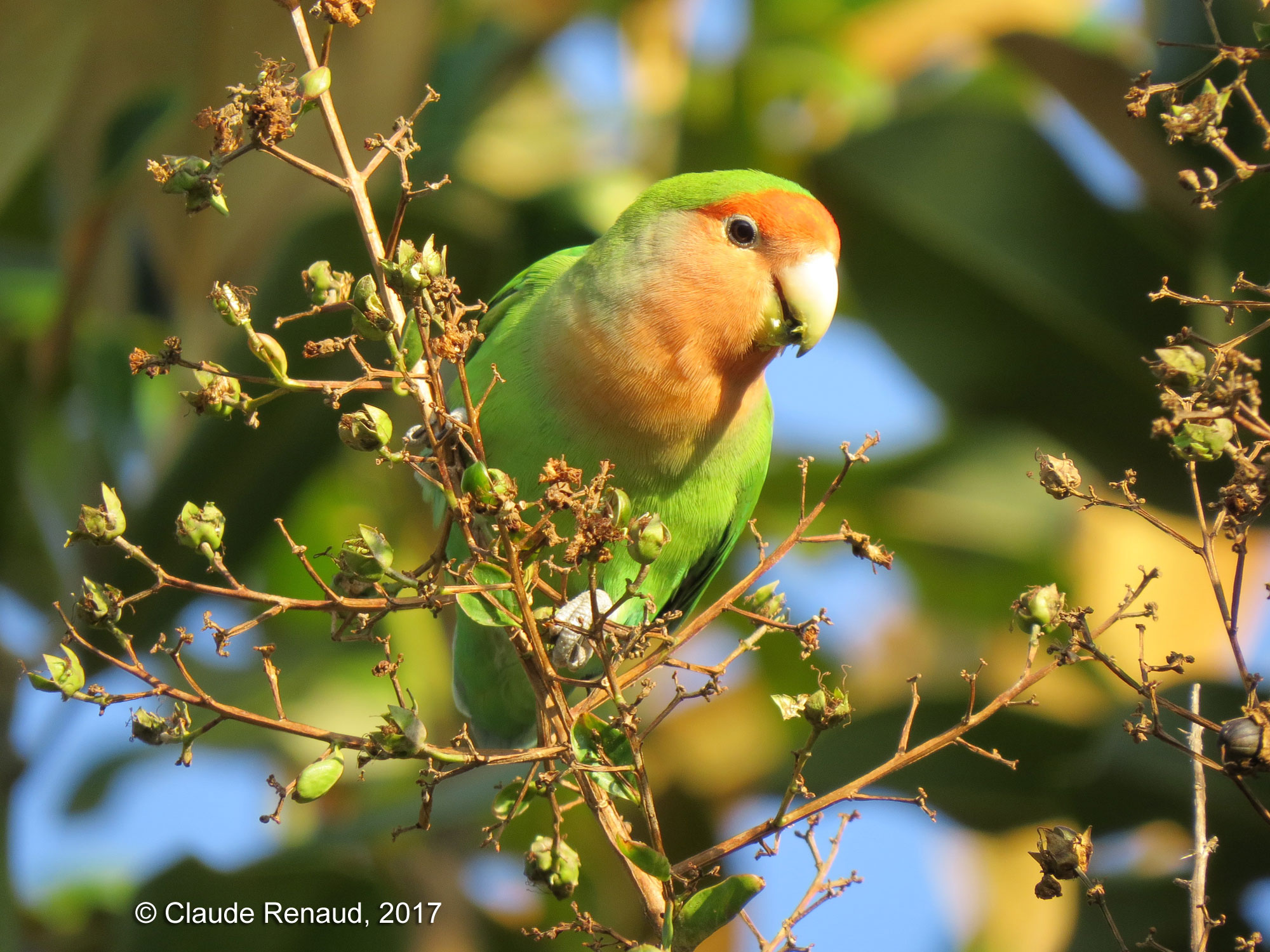 Rosy-faced Lovebird photo 01