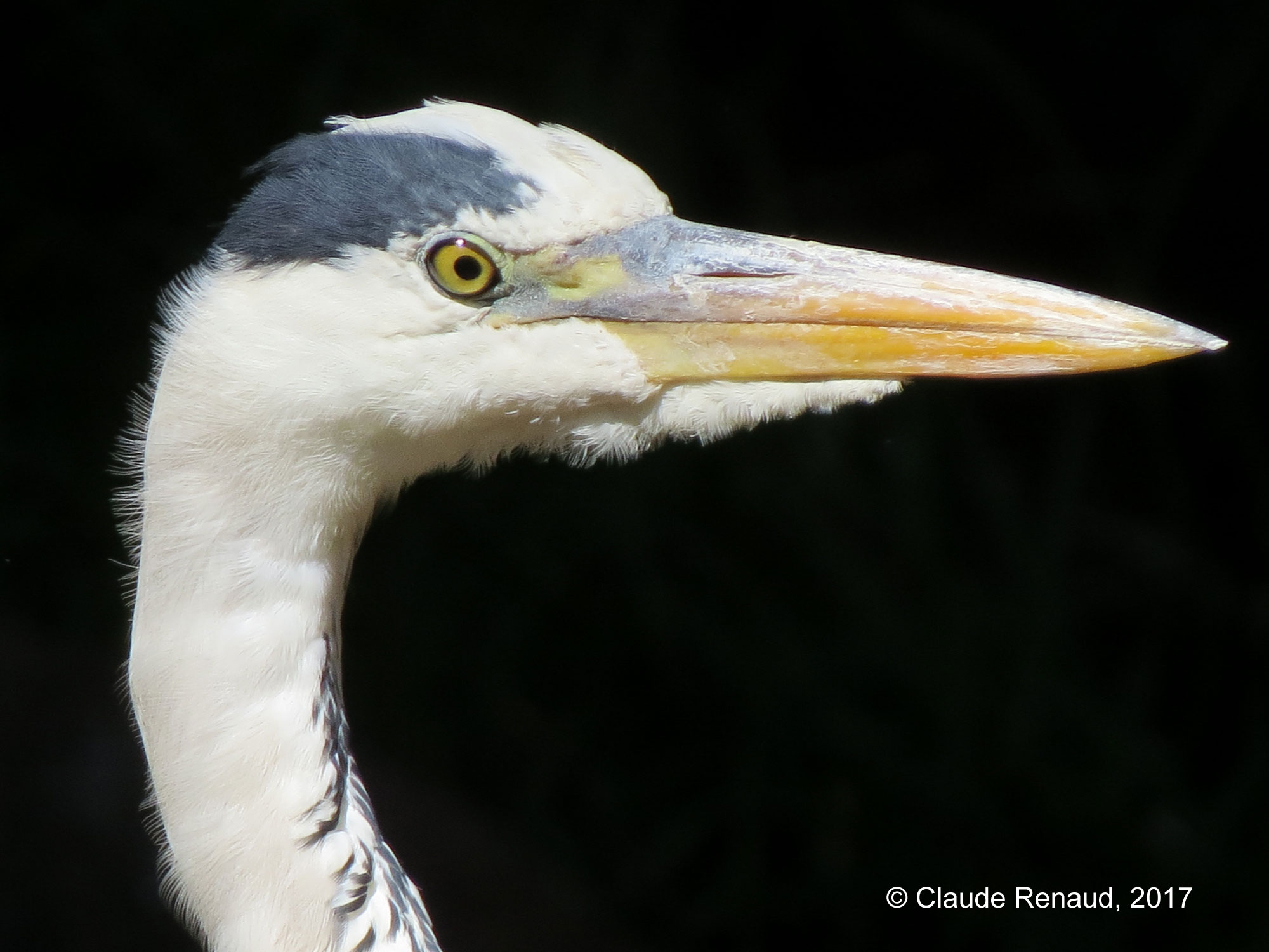 Grey Heron photo 01