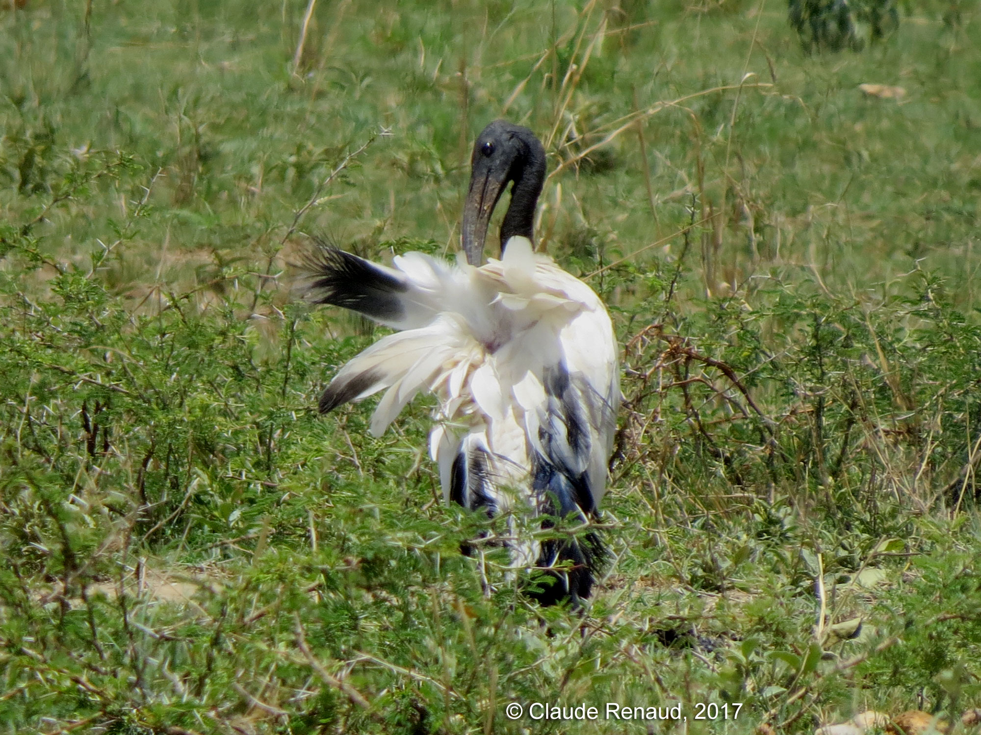 African Sacred Ibis photo 02