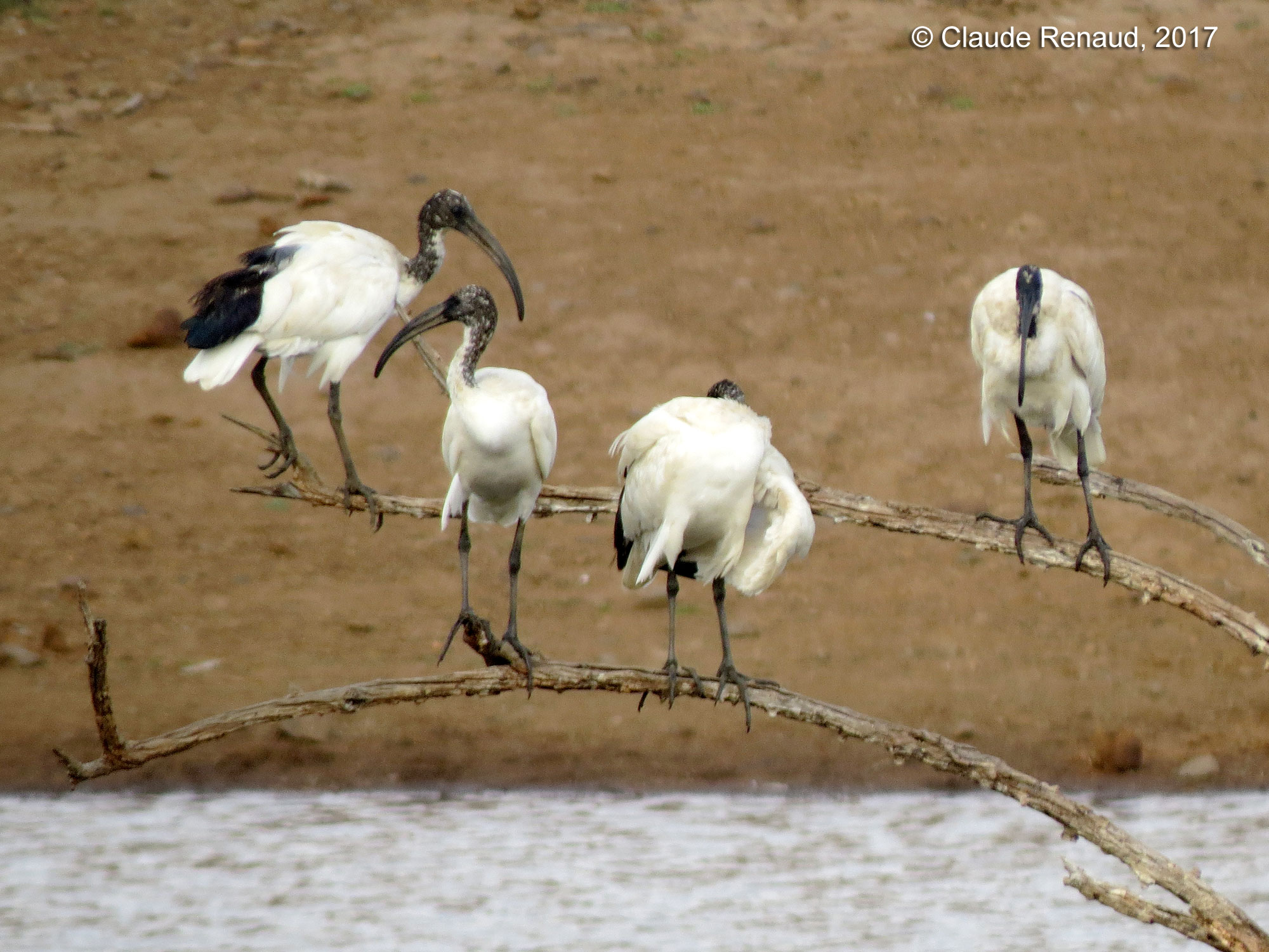 African Sacred Ibis photo 03